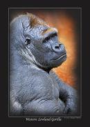 Series 1 - Western Lowland Gorilla