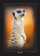 Series 1 - Meerkat