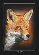 Series 1 - Red Fox