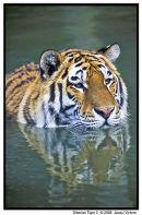 Siberian Tiger 3