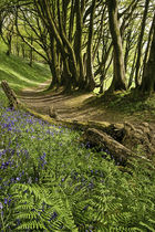 Bluebells and Beeches