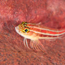 Another blenny - plenty of them about in Bali!