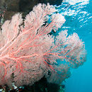 Gorgonian fan in the shallows