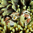 Porcelain crab eating