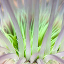 Sea anemone I