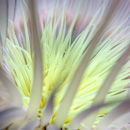 Sea anemone II