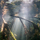 Light in the Mangrove roots