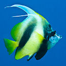 Bannerfish in the blue