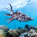 Defensive male cuttlefish