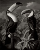 'Toucans' (monochrome version), Oil on Canvas, 20