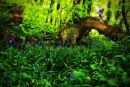 The Bluebell Fairy