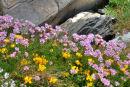 Burren Wildflowers