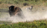 Bull Bison Taking a Dust Bath watched on by a Coyote