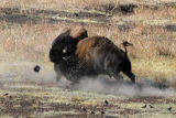 Bull Bisons Fighting