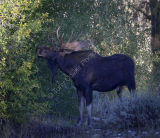 Bull Moose Browsing on Willow