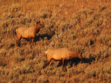 Elk in Early Morning Light