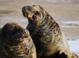 Fighting Grey Seal Bulls