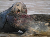 Fighting Bull Grey Seals