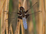 M Broad-bodied Chaser